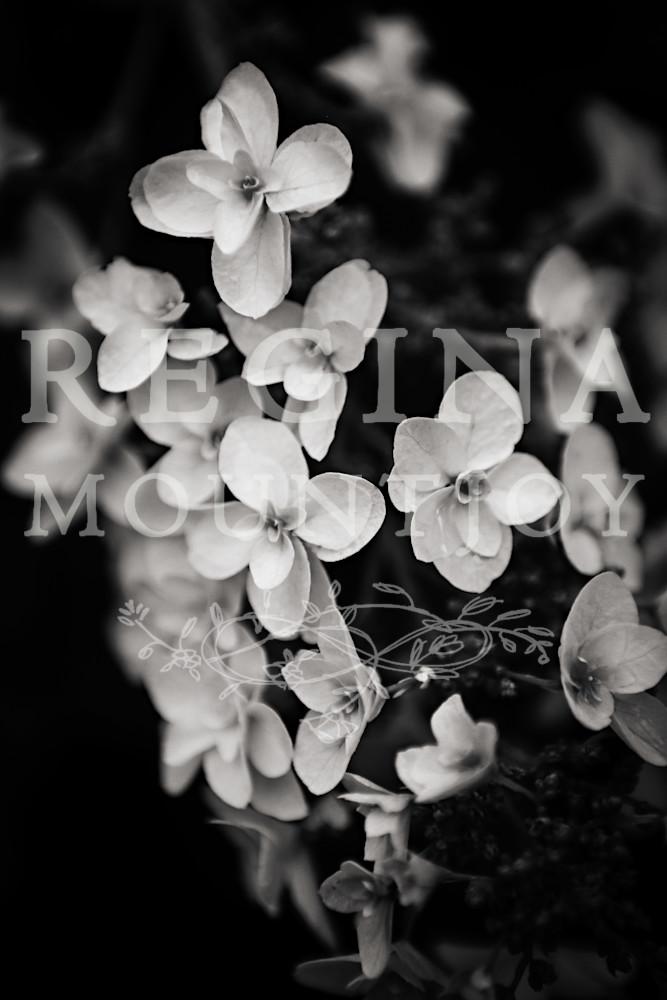 Harmony Hydrangea