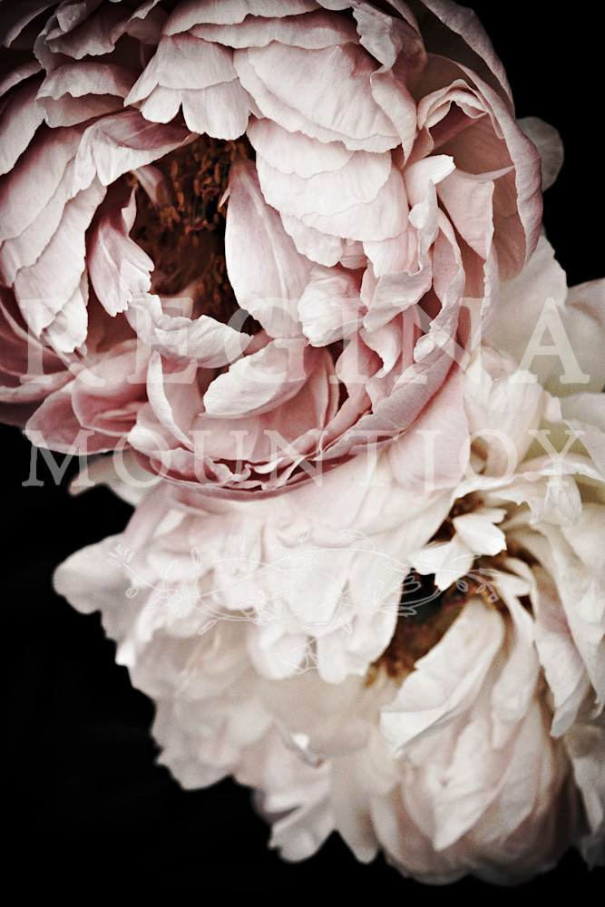 Sweet Dreams Peonies