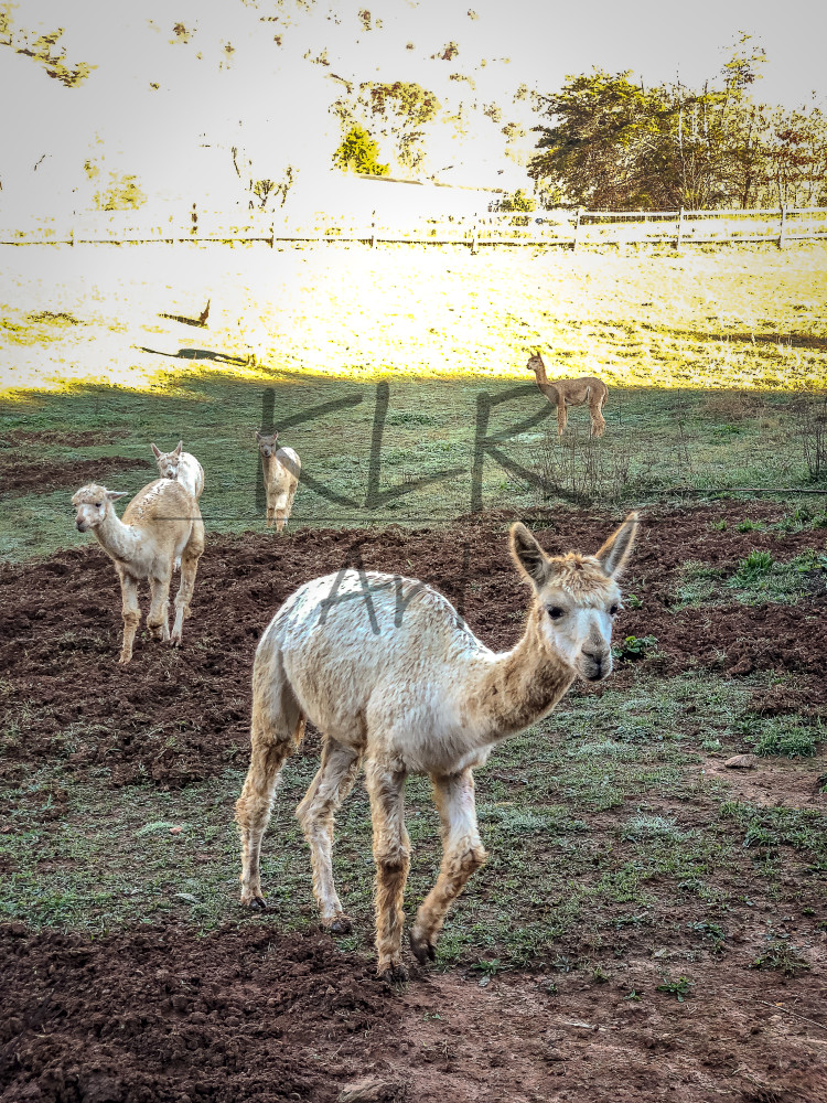 Gaf Animals 02 Alpacas Wet Morning Art | KLR ART