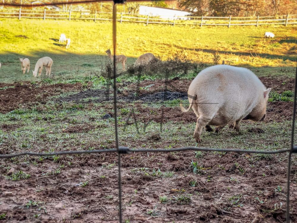 Gaf Animals 04 Pig Wet Morning Art | KLR ART