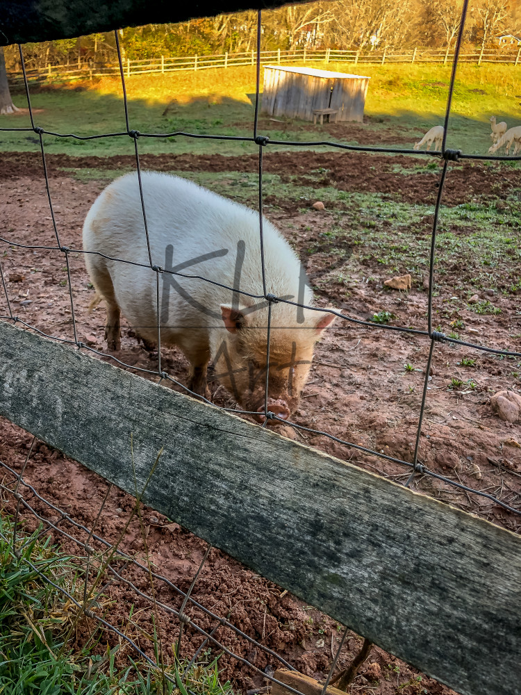Gaf Animals 05 Pig Wet Morning Art | KLR ART
