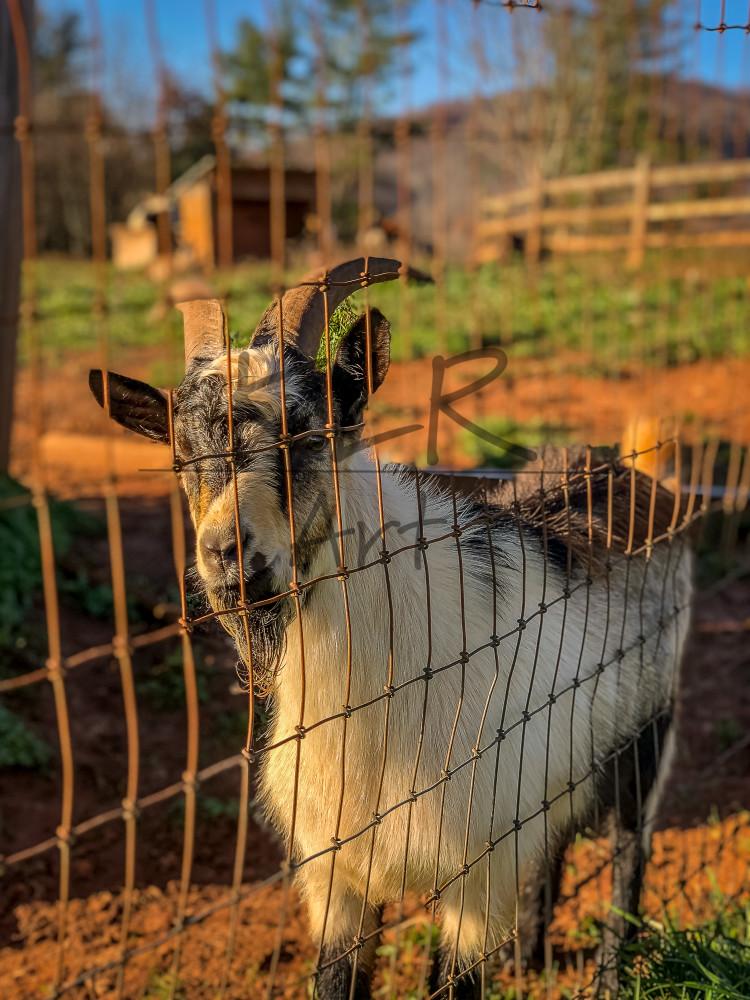 Gaf Animals 07 Oreo The Goat Art | KLR ART