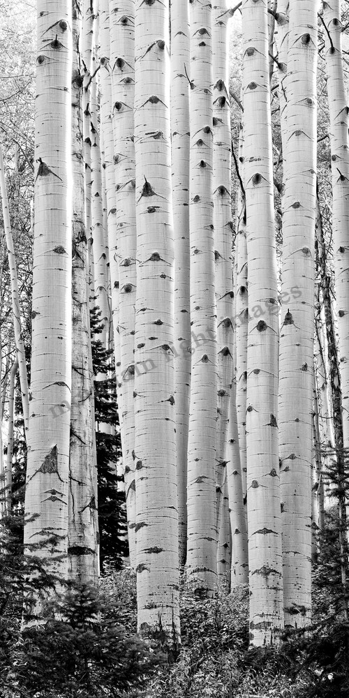Mountain Light Images, Aspen Trunks Kebler Pass, black and white, fall, aspen trees