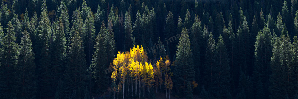 mountain light images up castle creek outside of aspen colorado a vivid stand of aspen glows in morning light surrounded by dark green fir trees