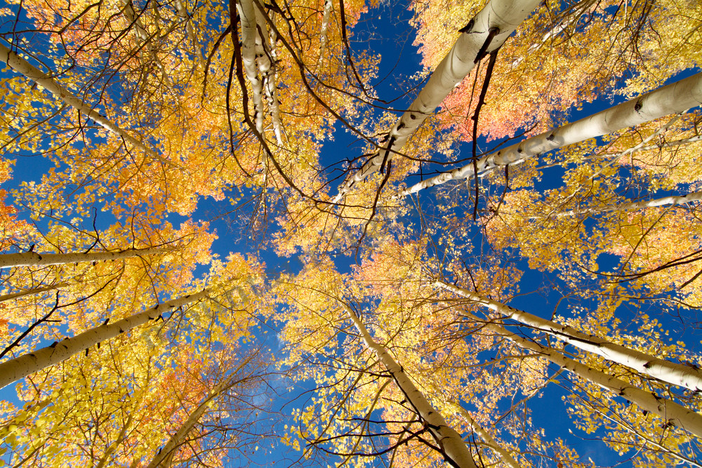 mountain light images, fall aspen tree color looking up at the canopy above. Yellow and gold near steamboat springs in colorado