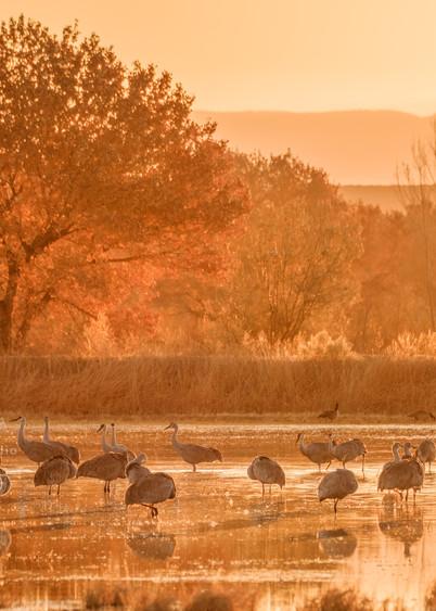 On Golden Crane Pond : Sandhill Cranes, Bosque