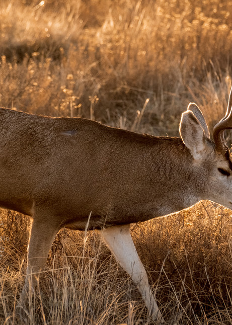 Mule Deer Traversing the Edge of Wonder : Mule Deer in Bosque del Apache