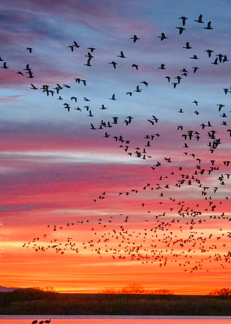 Family of Things Dawn : Snow Geese + Sandhill Cranes