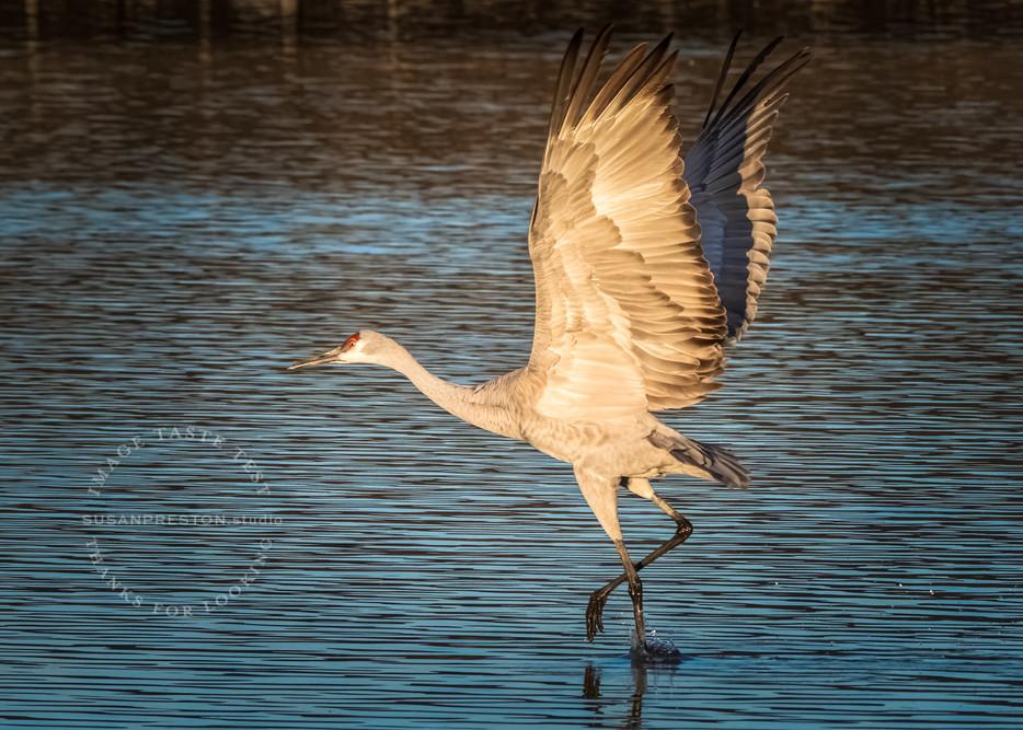 Sandhill Crane Dances on Water: Bosque del Apache
