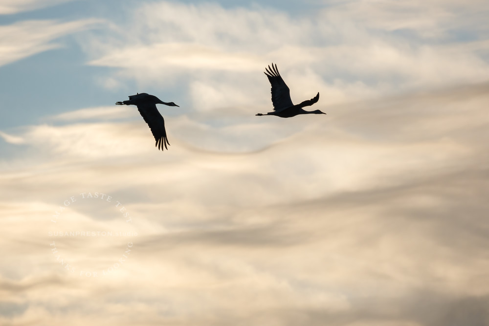 We Are the Sky : Sandhill Cranes Over the Bosque