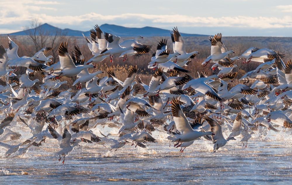 Snow Geese Afternoon Blast-Off : Bosque del Apache Wildlife Refuge