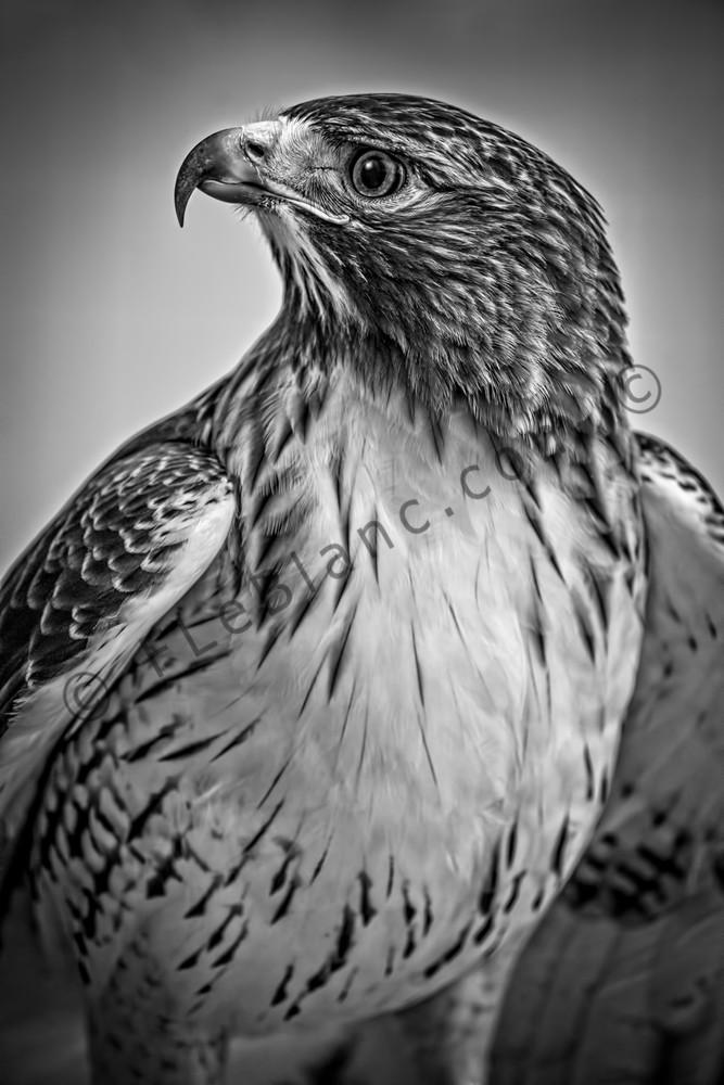 Red Shouldered Hawk Decor Monochrome|Wall Decor fleblanc