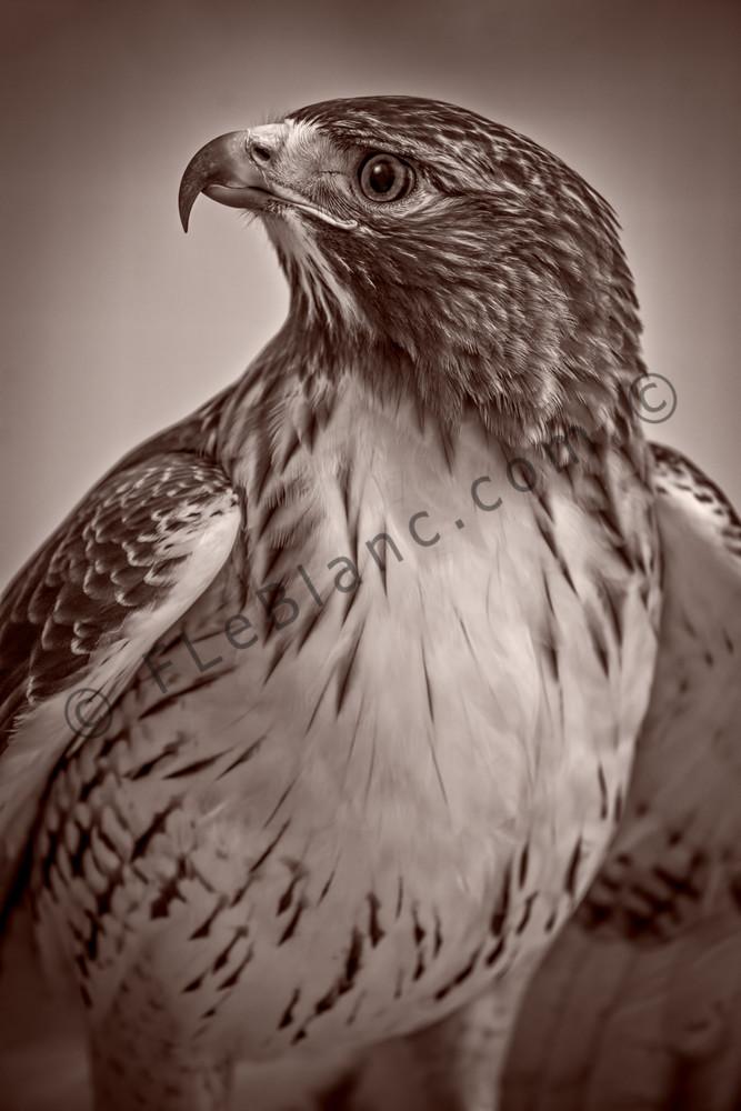 Red Shouldered Hawk Vigilant Wall Decor|Wall Decor fleblanc
