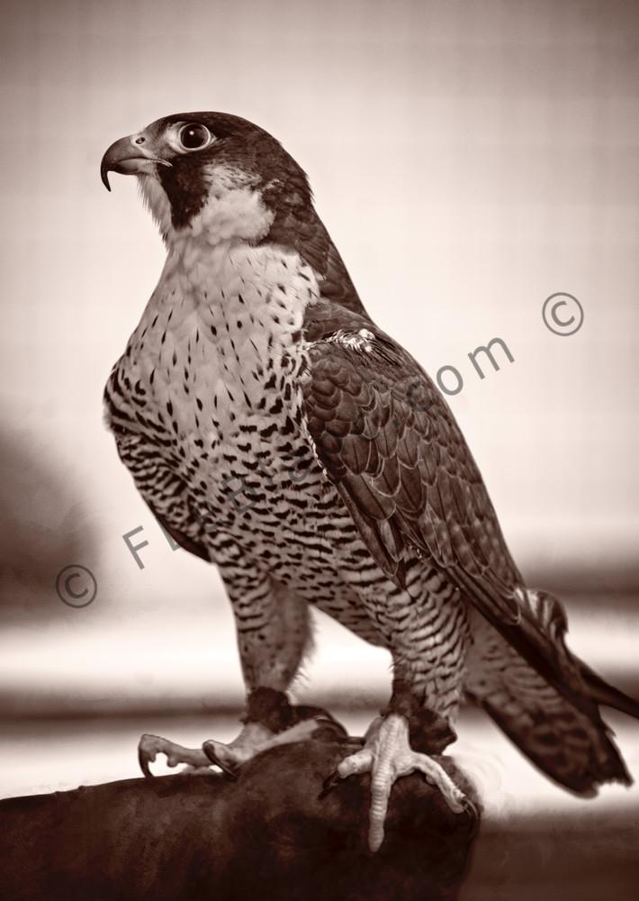 Peregrine Falcon Bird Of Prey Monochrome|Wall Decor fleblanc