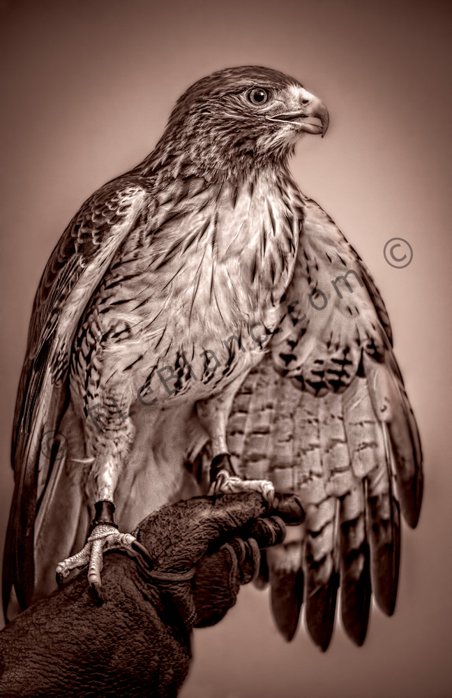 Red Shouldered Hawk Fierce Predator|Wall Decor fleblanc
