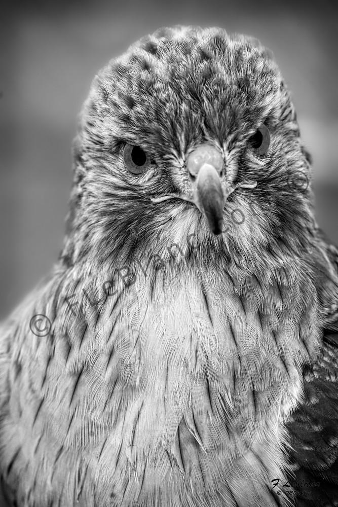 Hawk Bird Of Prey Predator Monochrome|Wall Decor fleblanc
