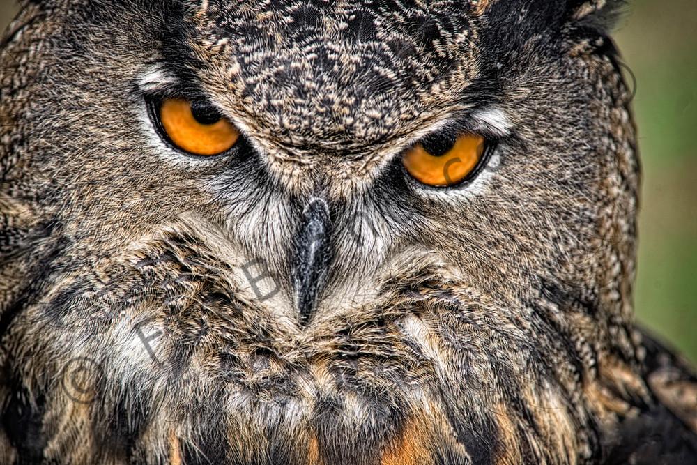 Great Horned Owl Piercing Eyes Predator|Wall Decor fleblanc