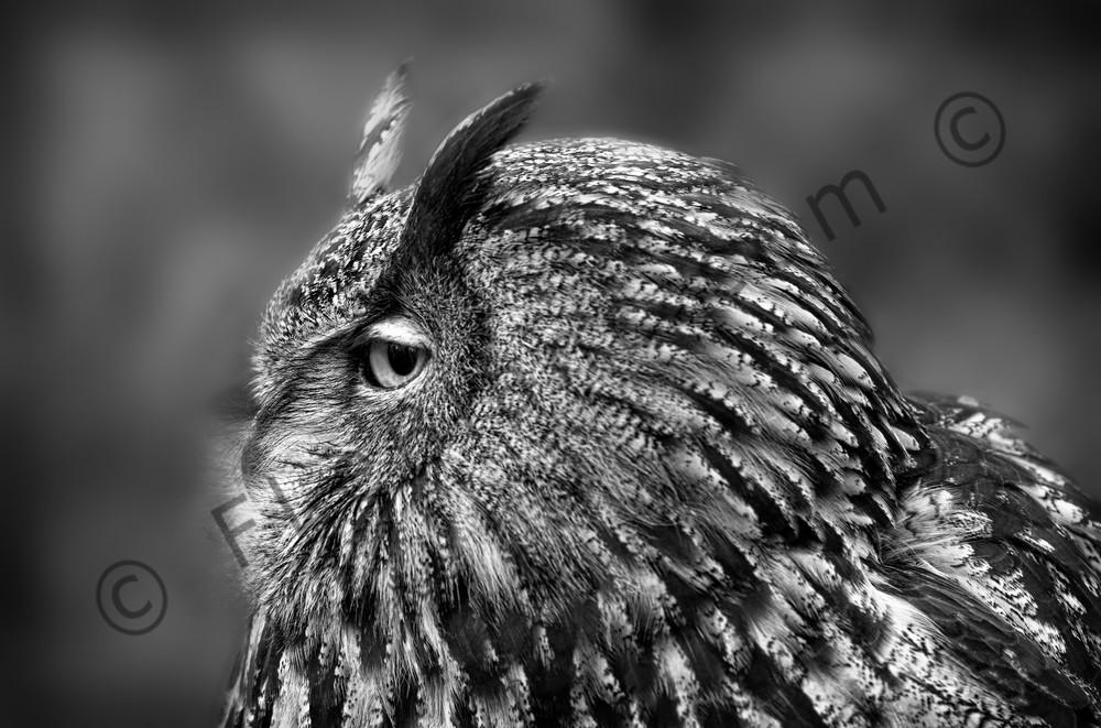 Great Horned Owl Predator Monochrome|Wall Decor fleblanc