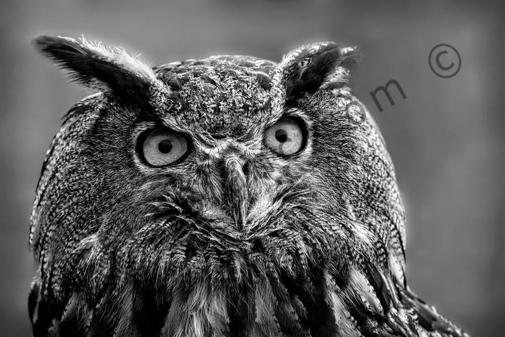 Great Horned Owl Monochrome Portrait|Wall Decor fleblanc