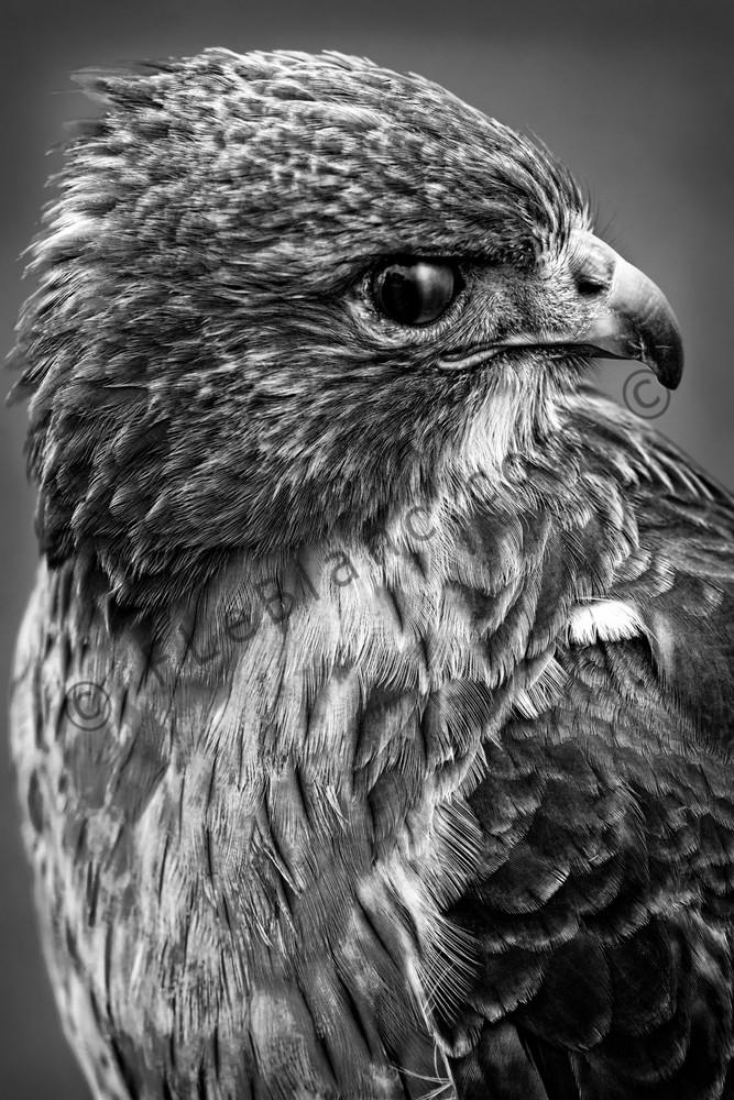 Red Shouldered Hawk Familiar Bird|Wall Decor fleblanc