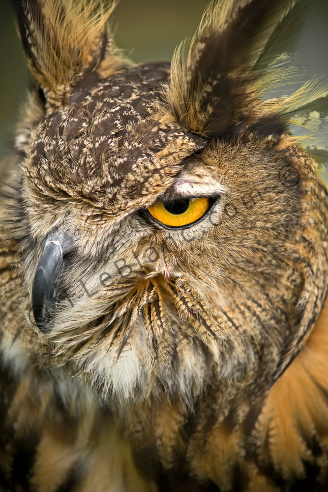 Great Horned Owl Close Up Portrait|Wall Decor fleblanc