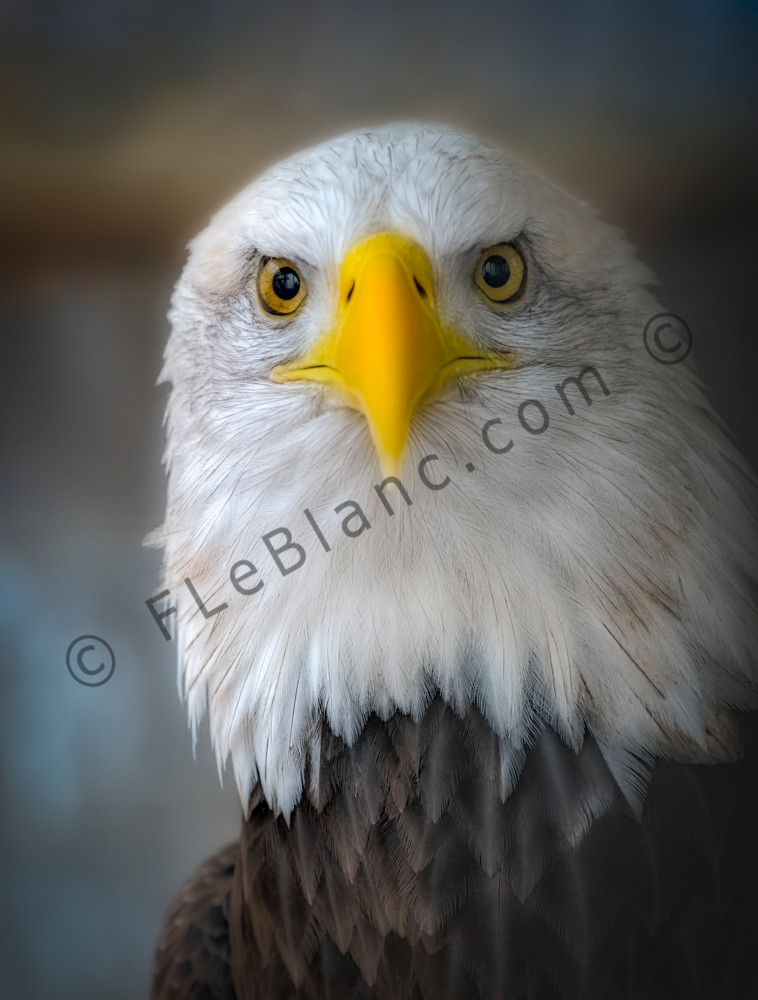 Bird Prey Bald Eagle USA wildlife raptor|Wall Decor fleblanc