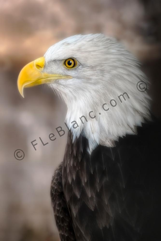 Bald Eagle Predatory Majestic Portrait|Wall Decor fleblanc
