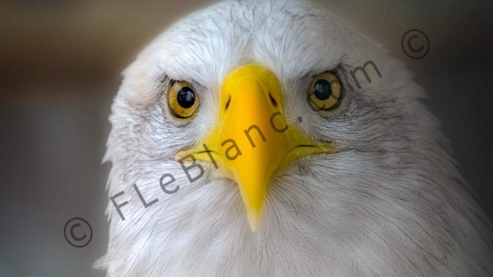 Predatory Hunter Bald Eagle Endangered Wall Decor fleblanc