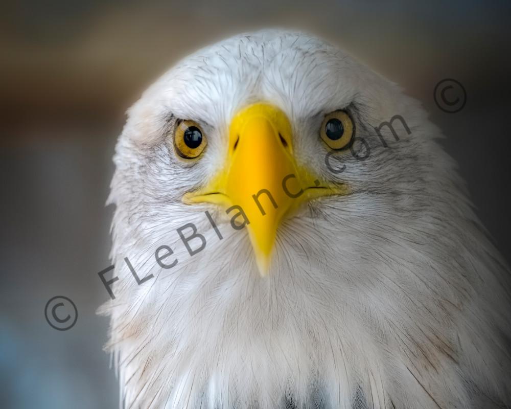 Majestic Endangered Bald Eagle Patriotism|Wall Decor fleblanc