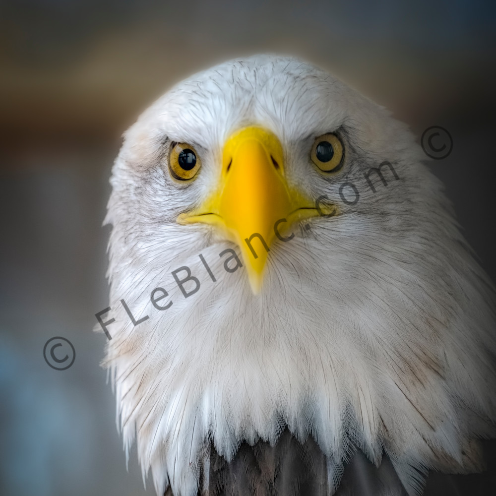 Bald Eagle Americana Predatory Close-up|Wall Decor fleblanc