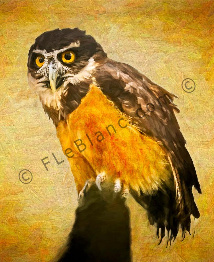 Art Photograph Barn Owl Painting fleblanc