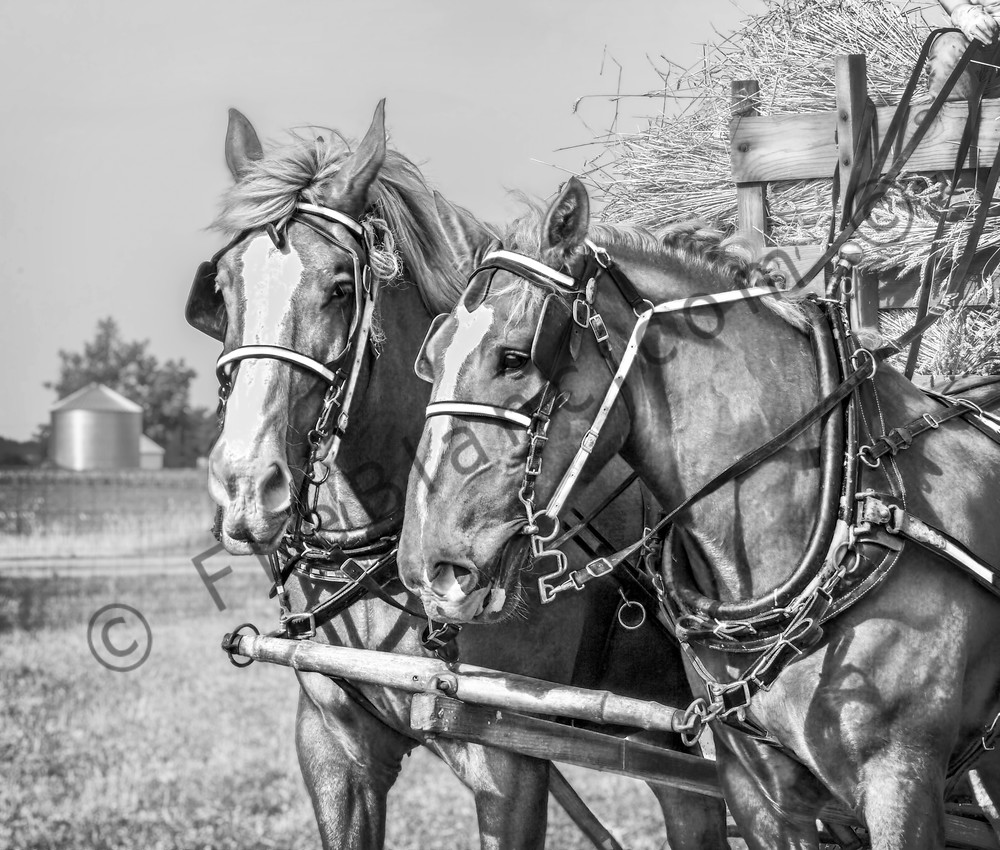Farm Horse Team Pulling Wagon Loaded With Wheat To Thresher Black and White fleblanc
