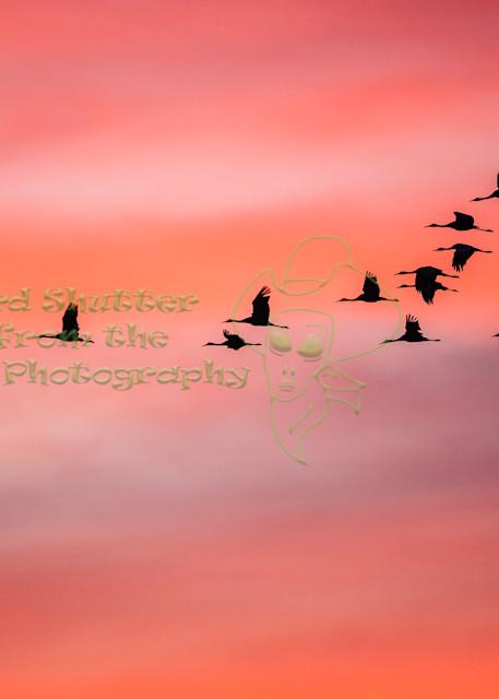 Sunrise Flight Sand Hill Cranes Art   Third Shutter from the Sun Photography