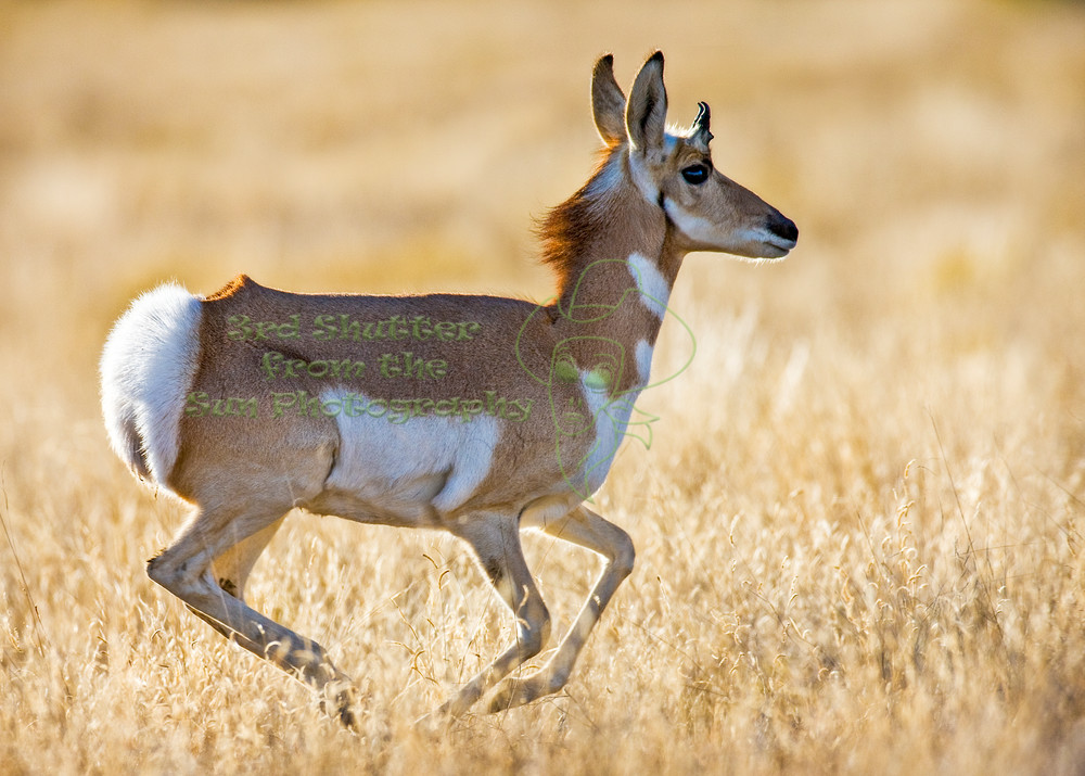 Run antelope run