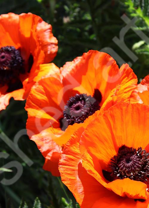 poppy poppies photo ged orange purple green garden photograph wall art black centers