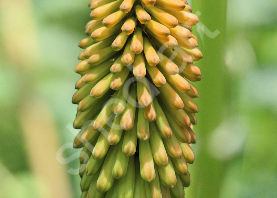 red hot poker flower photo close up orange green yellow abstract blurry background wall art macro photograph