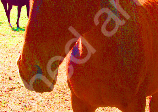horse pony polo red chestnut country