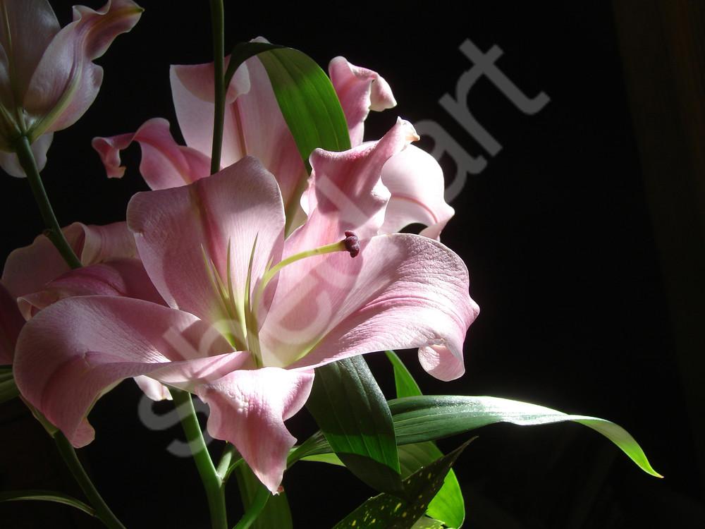 photo lily flower chiaroscuro wall art