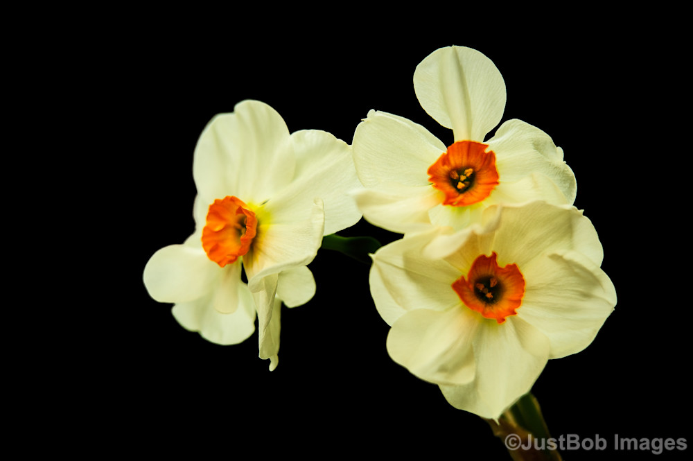 Daffodil Fine Art Photograph | JustBob Images