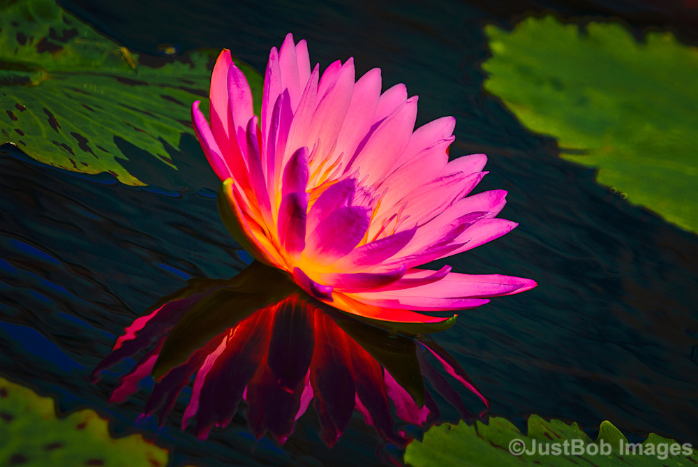 Victoria Water Lily Fine Art Photograph | JustBob Images