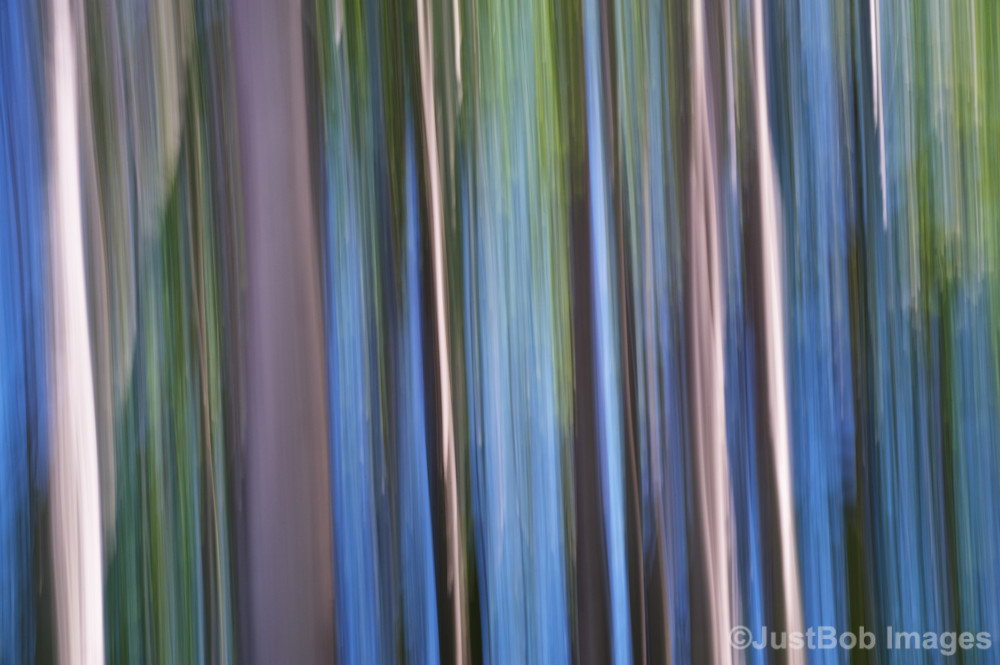 Birch Tree Swipe Fine Art Photograph | JustBob Images