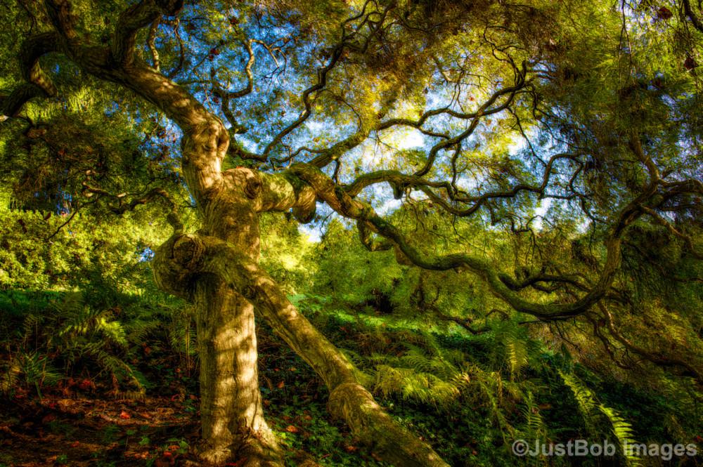 Japanese Maple Fine Art Photograph   JustBob Images