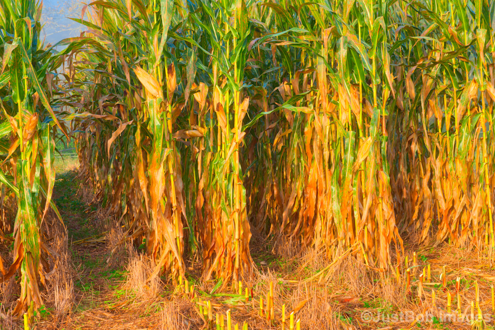 Corn Field Fine Art Photograph | JustBob Images