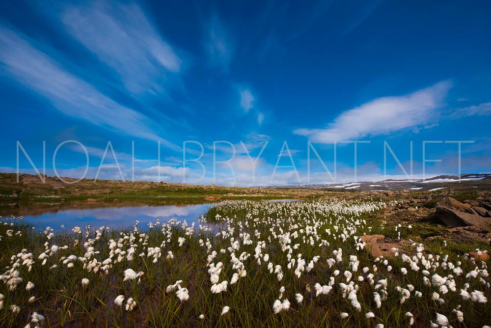Icelandic Cottongrass - Noah Bryant