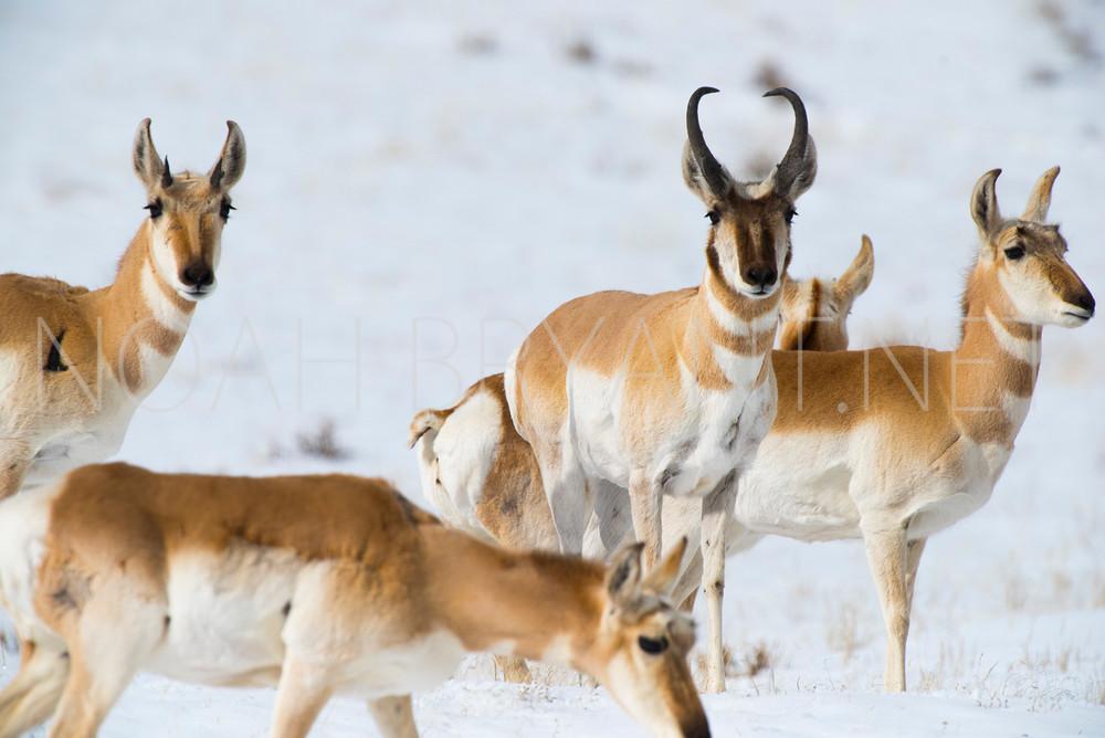 Antelope - Noah Bryant