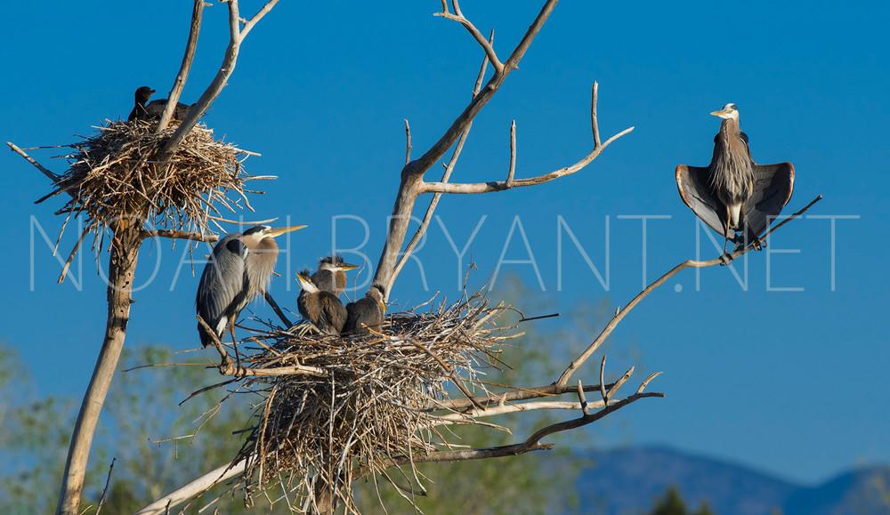 Great Blue Heron Family - Noah Bryant