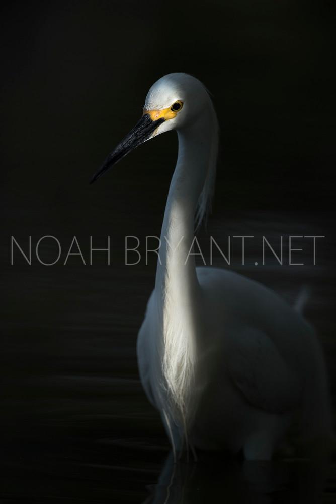 Snowy Egret - Noah Bryant