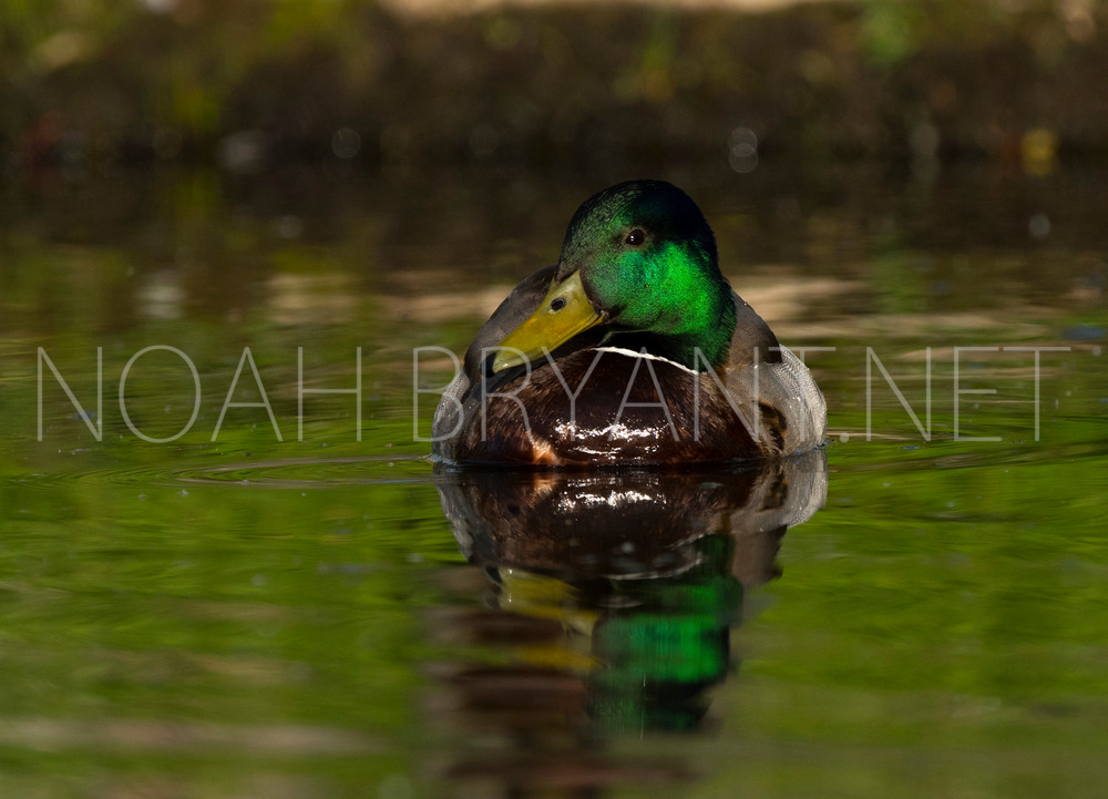 Mallard Duck - Noah Bryant