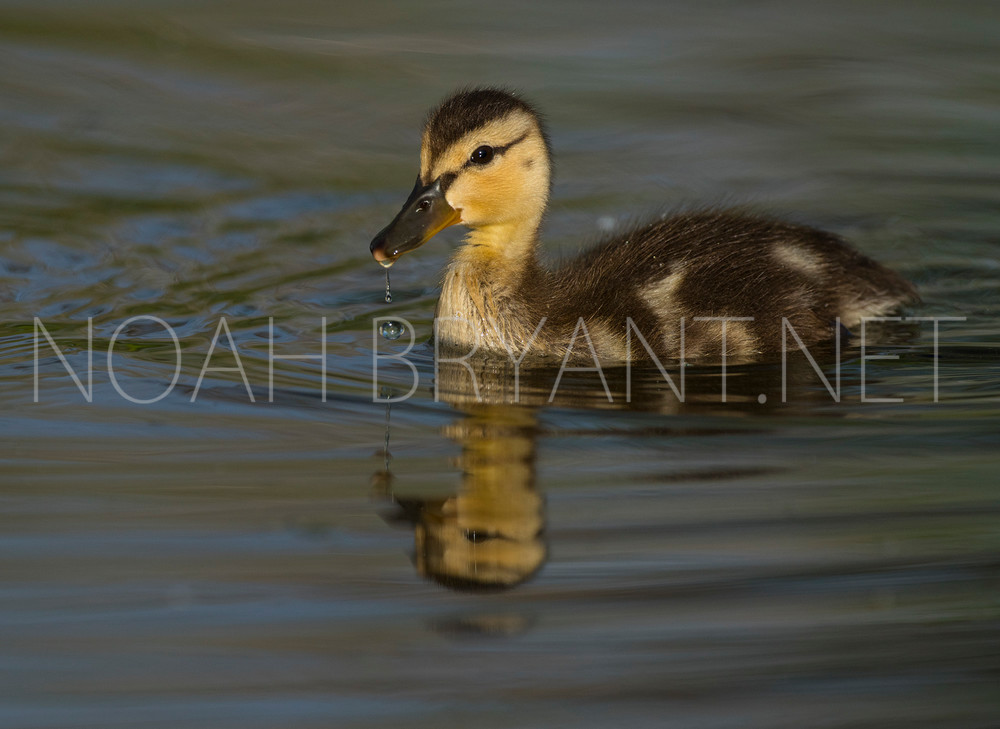 Duckling - Noah Bryant