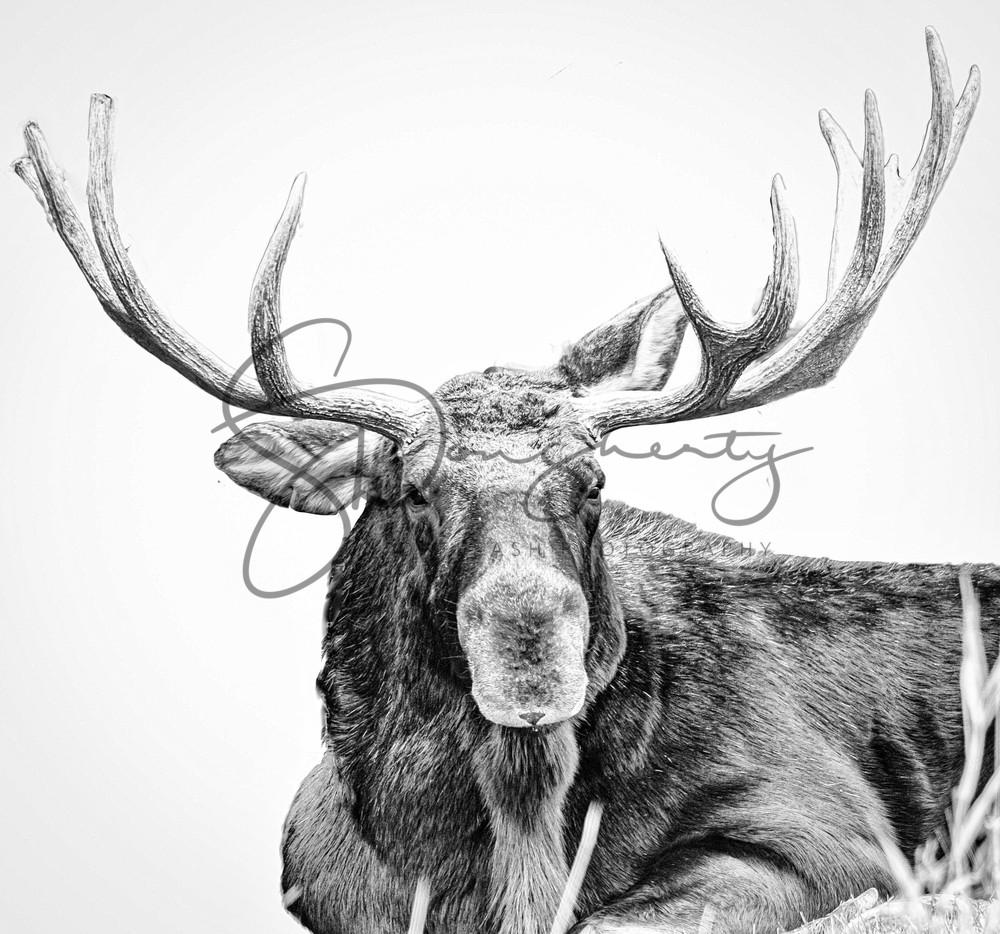 Moose High Key  Photography Art   offleashphotography